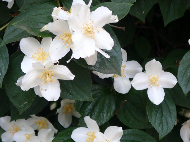 Kwiat jaśminowca - królowa nocy